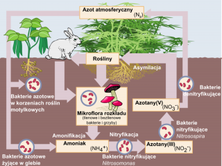 Cykl azotowy